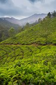 image of cameron highland  - Tea plantation Cameron highlands in the India - JPG