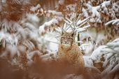 picture of freeze  - Eurasian lynx cub standing in winter colorful forest with snow - JPG