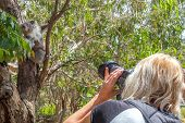 stock photo of koala  - Wildlife woman photographer takes pictures of a Koala while climbing a tree at Phillip Island in the state of Victoria - JPG