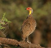 Swainsons Francolin