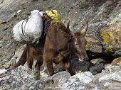 pic of yaks  - Scene in the Everest National Park - JPG