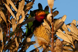 picture of lorikeets  - Rainbow lorikeet sitting in the bush and looking around - JPG