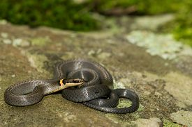 pic of coil  - A Ringneck Snake coiled on a stone - JPG