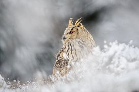pic of snow owl  - Eurasian Eagle Owl sitting on the ground with snow in winter time - JPG