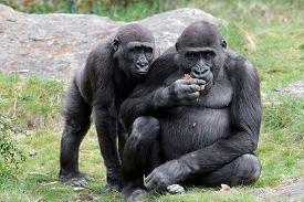 picture of gorilla  - A young gorilla is begging his big brother for food - JPG