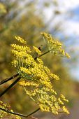 Yellow Dill