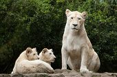Постер, плакат: Female white lion with two newborn lion cubs The whitelion is a colour mutation of the Transvaal li