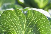 Leaf Of Cabbage Close Up