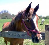 Chestnut Horse With Halter at Wooden Fence