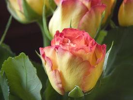 image of single flower  - rose bud close up  - JPG