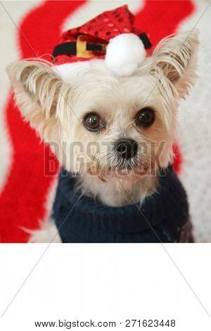 poster of Small dog Christmas. A Morkie half Maltese - Yorkie dog smiles for his Christmas Portrait. Small Dog