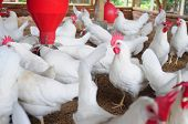 stock photo of fowl  - Poultry farm - JPG