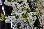 Blossom Blooming On Trees In Springtime. Apple Tree Flowers Blooming. poster