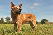 picture of cattle dog  - red australian cattle dog upright in a field - JPG