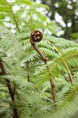 Young fern, Dicksonia blumei planche