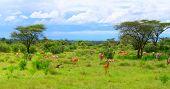 Wild impalas grazing. Africa. Kenya. Samburu national park.