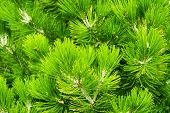 Fir Tree Brunch Close Up. Shallow Focus. Fluffy Fir Tree Brunch Close Up. Christmas Wallpaper Concep poster