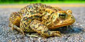 American Toad (anaxyrus Americanus) In Vivid Colors Posing On Sunshine poster