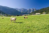 grazing cows on alpine pasture