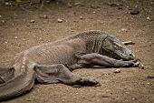 Komodo Dragon in Rinca Island, Indonesien
