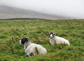 Black Faced Sheep On Moors