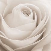 foto of single white rose  - close up of white rose petals - JPG