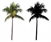 A High And Tall Coconut Palm Tree With Black Alpha Mask Isolated On White Background. poster