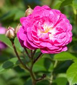picture of rose flower  - Pink rose on the bush close - JPG