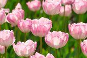 Beautiful pink blooming tulips