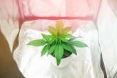 Marijuana In Grow Box Tent. Cannabis Plant Growing. Close Up. Growing Marijuana At Home Indoor. Vege poster