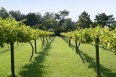 Muscadine Grape Vineyard