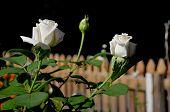 Two White Rose Bud.