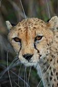 Cheetah in Namibia
