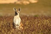 image of wallabies  - Short depth of field photo of kangaroo in the Australian outback