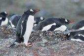 gentoo penguin standing on the rocks