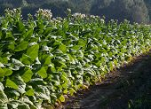 Bright Leaf Tobacco Field