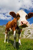 La vaca en un potrero en la montaña de Dolomiti