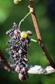 Grape Disease