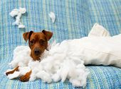 stock photo of mischief  - naughty playful puppy dog after biting a pillow tired of hard work - JPG