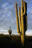 foto of xeriscape  - A large saguaro stands against the setting sun in Saguaro National Park - JPG
