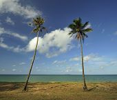 Two Coconut Trees alongside the beach