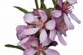 Blumen Mandeln