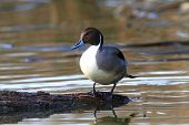 foto of pintail  - Male Northern Pintail  - JPG