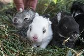 stock photo of cony  - Three young rabbits sitting on the hay - JPG