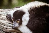 Portrait of black and white ruffed lemur (Varecia variegata)