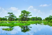 stock photo of cottonwood  - Atchafalaya River Basin with Cypress trees in Louisiana - JPG