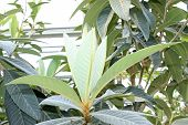 pic of loquat  - closeup of loquat leaves in a botanical garden - JPG