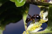 black ant and aphids