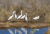 Snowy Egret Confab