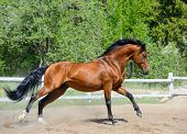 Bay purebred stallion gallops on manege